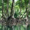 Samana_mangrovníky_Dominikánská republika