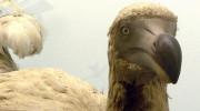 Mauricius - Dodo